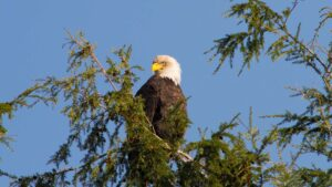 Port Hardy Wildlife Viewing - Bald Eagle in Tree