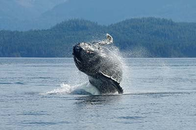 Port Hardy Whale Watching - Breaching Humpback Whale - 400x267