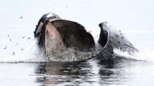 Port Hardy Whale Watching - Lunge Feeding Humpback Whale