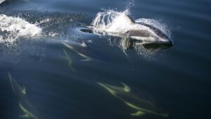 Port Hardy Wildlife Viewing - Pacfic White-sided Dolphins