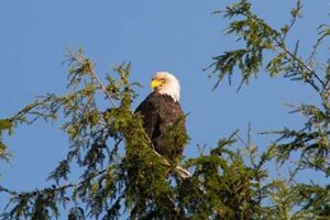 Evening Wildlife Viewing Tours - Bald Eagle