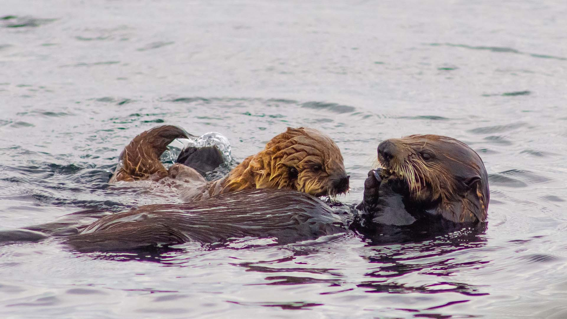 sea otter viewing tours - mother and pup