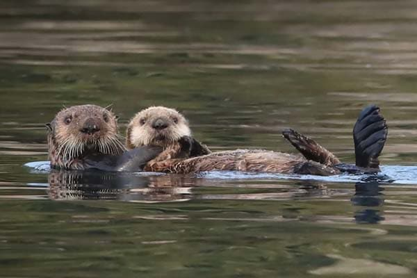 Sea otter tours