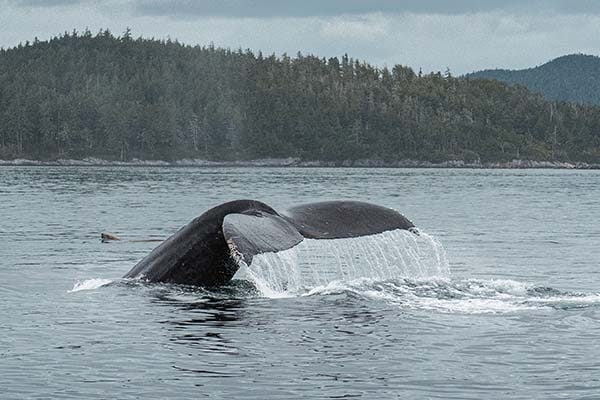 Humpback Whale Watching Tours