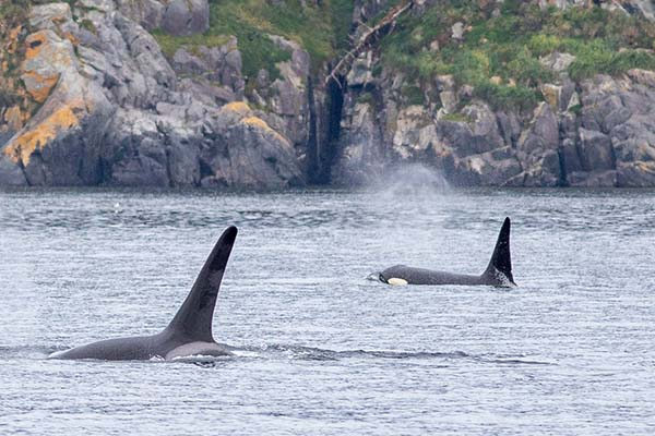 Killer Whale Watching Tours